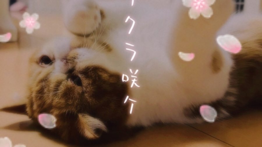 エキゾチックショートヘア 猫 プリン